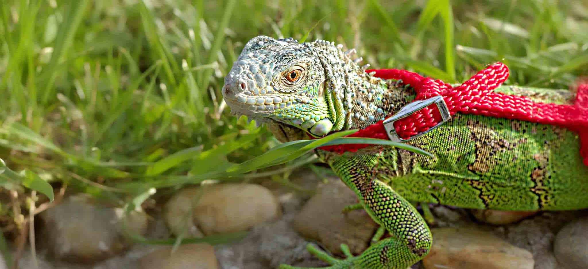 Green lizard on leash