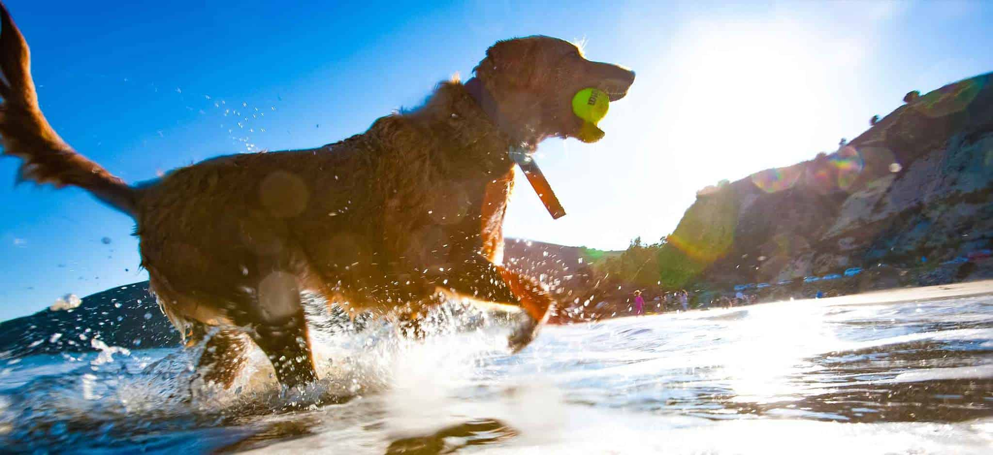 A dog running om beach with a ball in its mouth